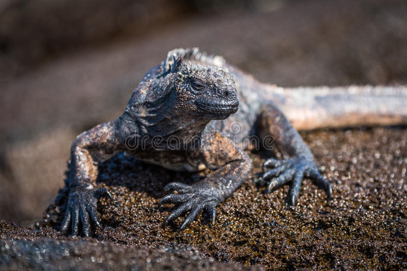 Iguana marinha empoleirada na rocha marrom molhada fotografia de stock