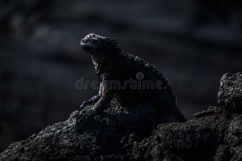 Iguana marinha empoleirada na rocha vulcânica preta fotos de stock royalty free