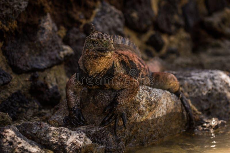 Iguana marinha na parede de pedra ao lado da água fotografia de stock
