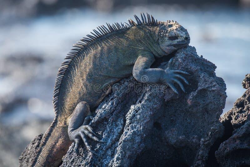 Iguana marinha que dorme na rocha vulcânica preta fotografia de stock
