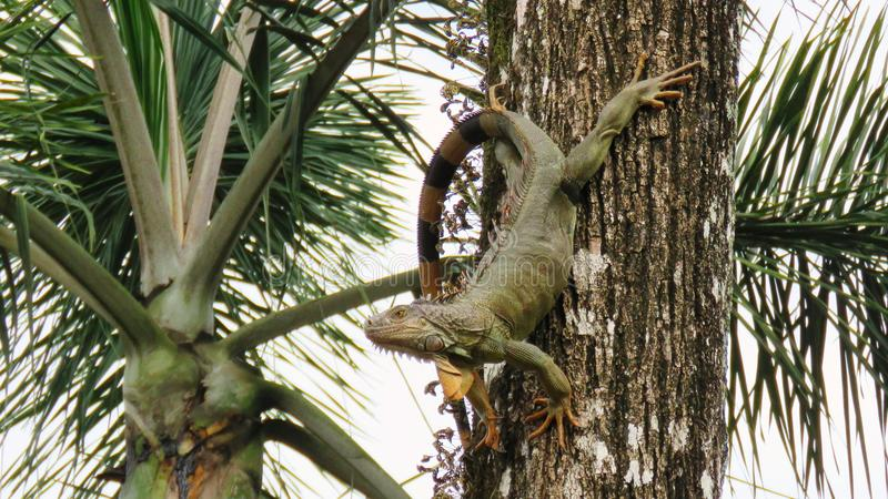 Iguana masculina en ella reloj del territorio del ` s imagen de archivo