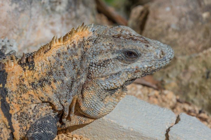 Iguana mexicana foto de archivo