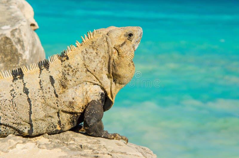Iguana mexicana en la península del Yucatán, México imágenes de archivo libres de regalías