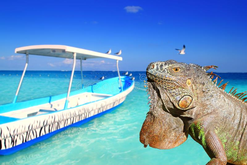Iguana mexicana en playa tropical del Caribe foto de archivo