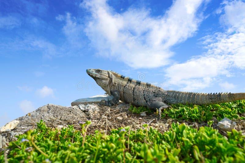 Iguana mexicana en Tulum en maya de Riviera fotos de archivo libres de regalías