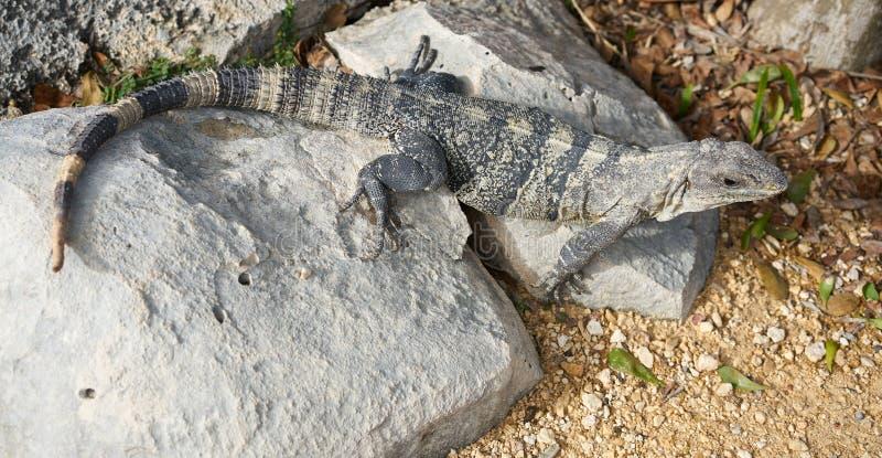 Iguana mexicana en Tulum en maya de Riviera imágenes de archivo libres de regalías