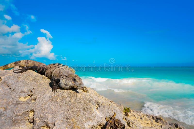 Iguana mexicana en Tulum en maya de Riviera fotografía de archivo