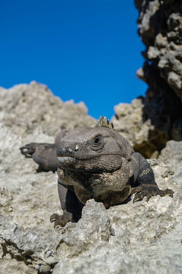 Iguana mexicana en Tulum, maya de Riviera imagen de archivo libre de regalías