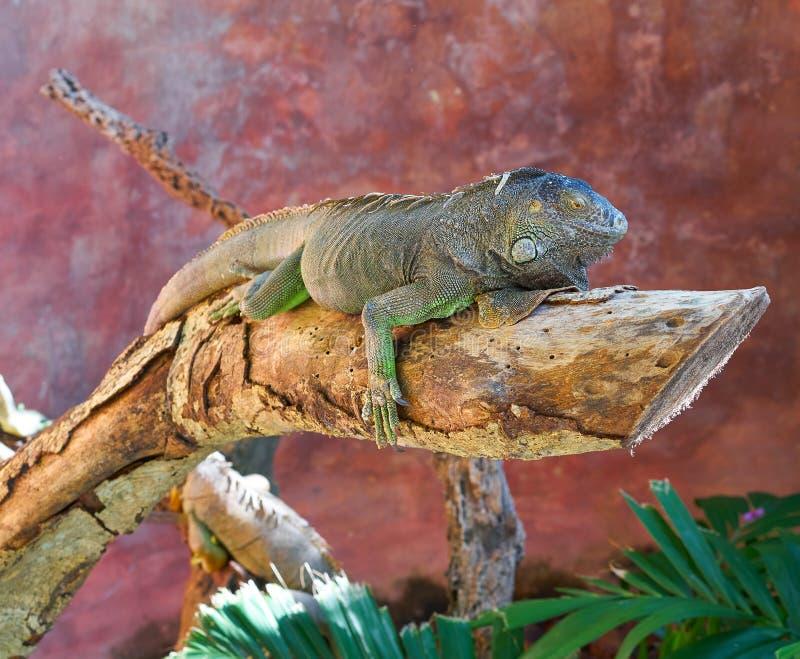 Iguana mexicana en un tronco de árbol imagenes de archivo