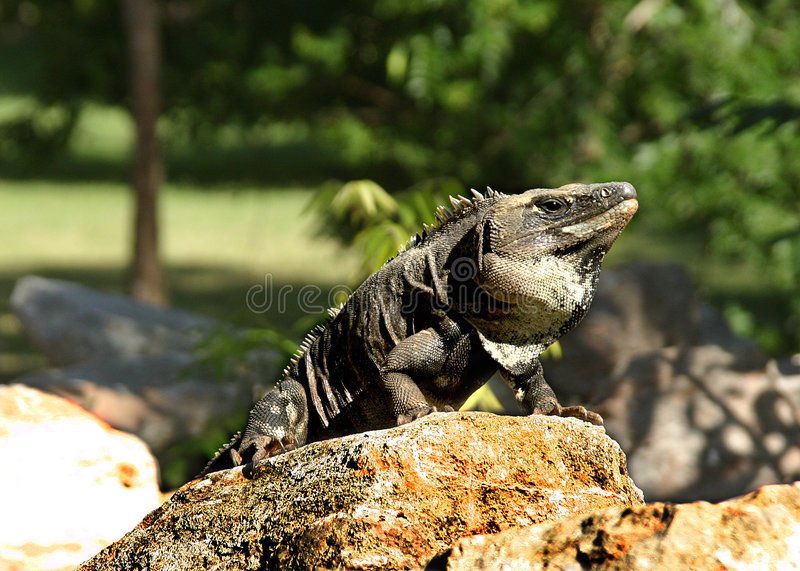 Iguana in Mexico. Pretty animal on mayan site in Uxmal, Mexico royalty free stock image