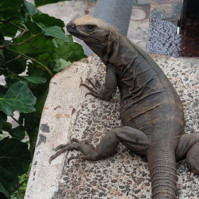 Iguana modelo. Unique, dark, green stock photos