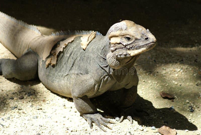 iguana Mona s fotografia stock