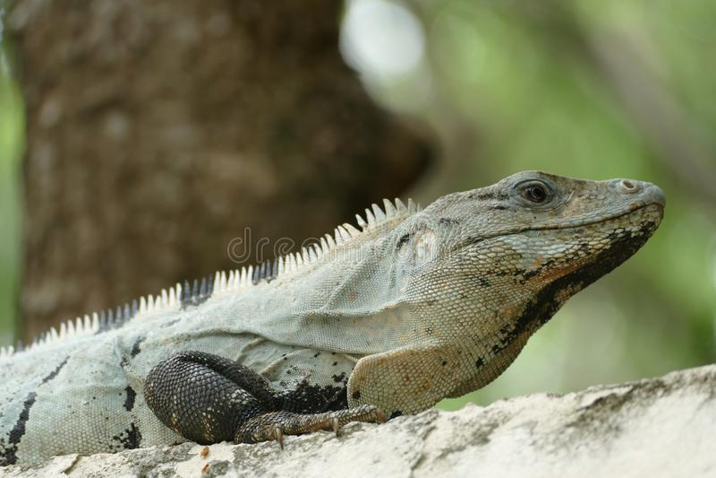Iguana munita coperta di spine messicana sulla parete fotografia stock