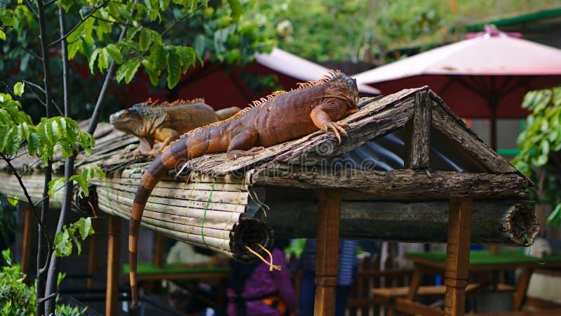 Iguana na dachu zdjęcie royalty free