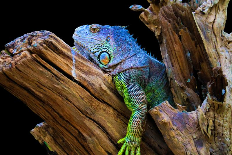 Iguana na drewnie zdjęcie stock