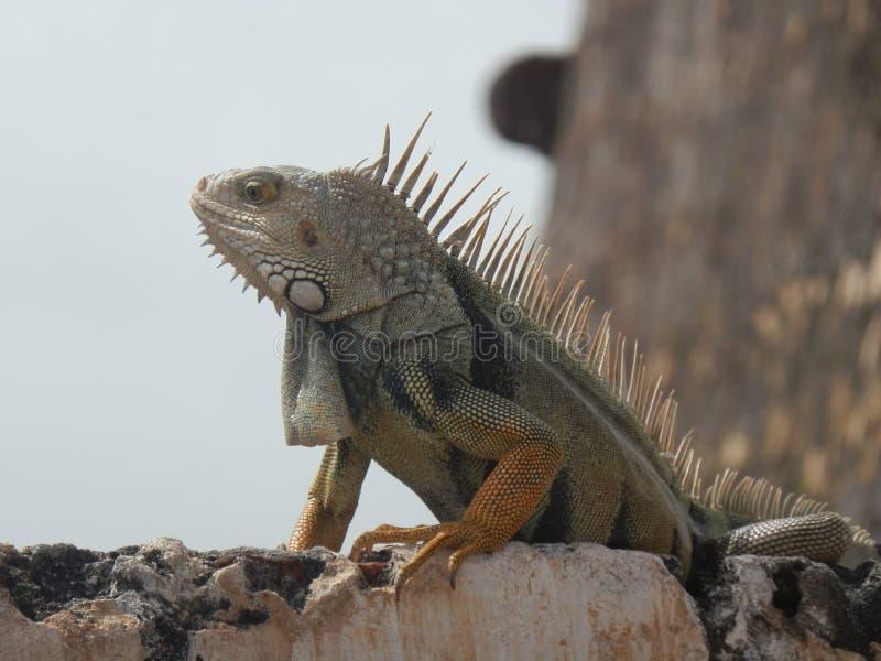 Iguana na fortaleza imagem de stock royalty free