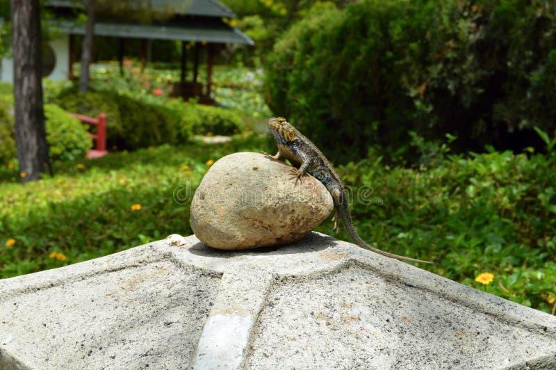 Iguana na rocha fotografia de stock royalty free