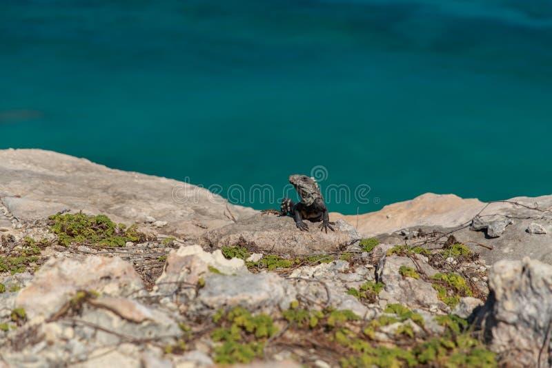 Iguana na rocha Isla Mujeres fotos de stock