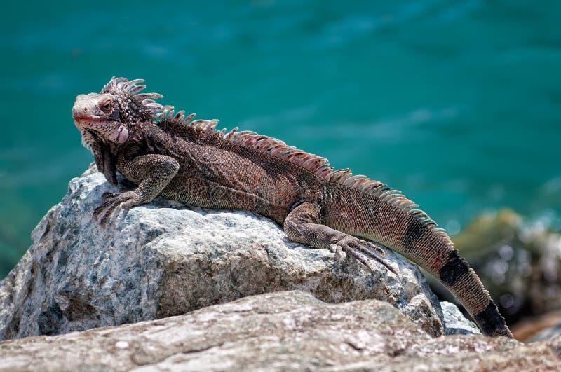 Iguana na skale fotografia royalty free