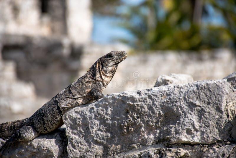 Iguana na skale obrazy royalty free