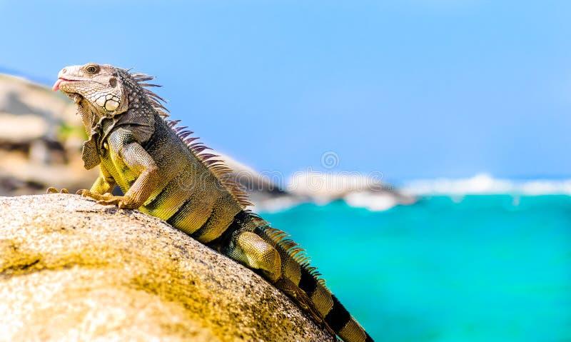 Iguana na skale w parku narodowym Tayrona w Kolumbia zdjęcie stock