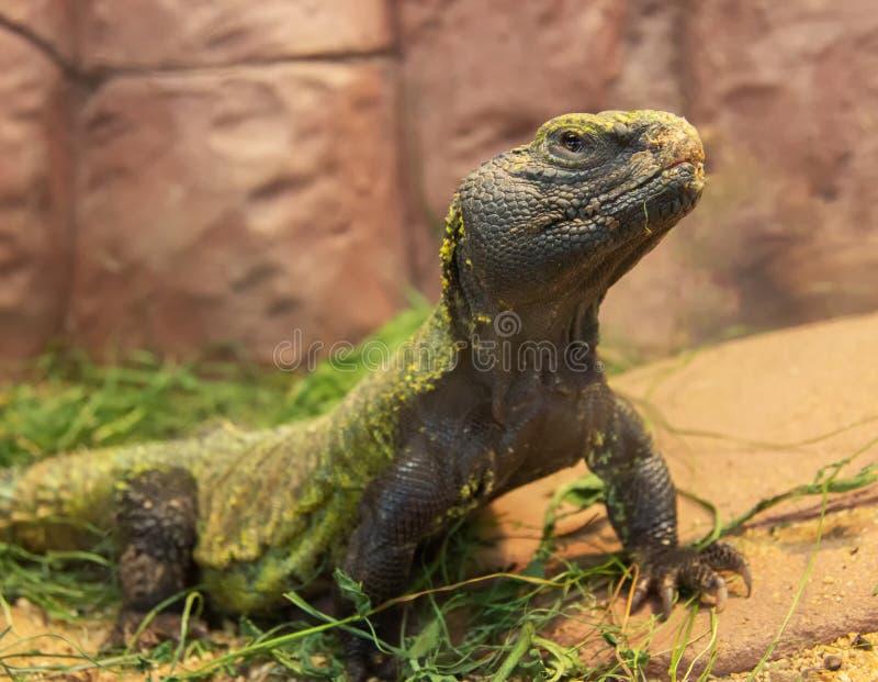 Iguana na skale zdjęcia stock