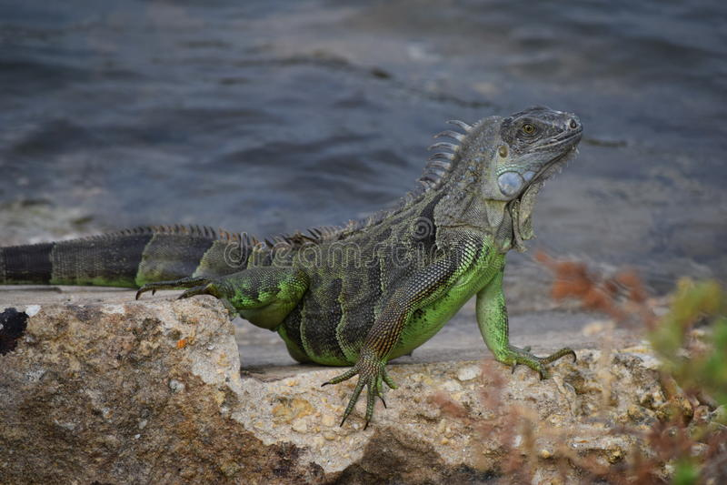 Iguana nas rochas imagens de stock