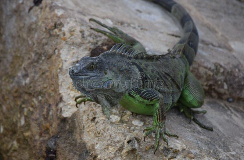 Iguana nas rochas foto de stock