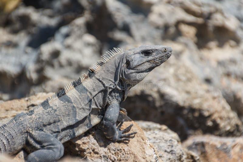 Iguana nas rochas da ilha de Isla Mujeres perto de Cancun fotos de stock royalty free