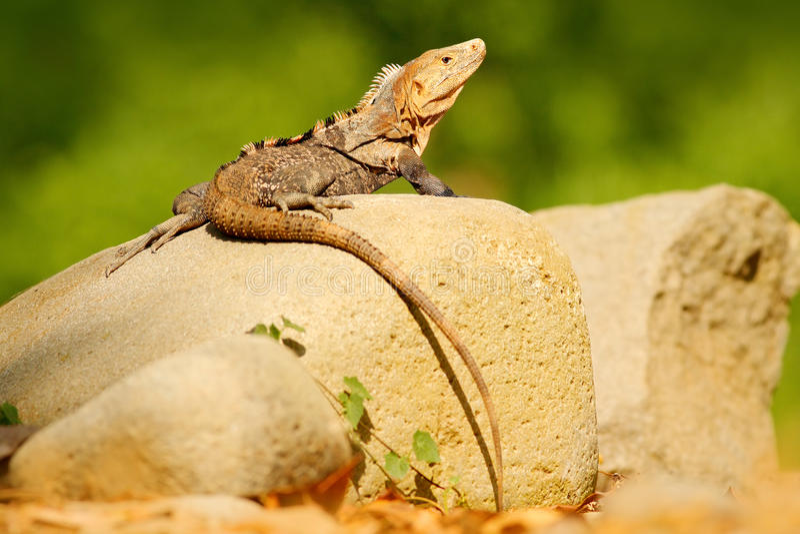 Iguana negra del lagarto, similis de Ctenosaura, sentándose en piedra Escena animal de la fauna de la naturaleza Animal en Costa  foto de archivo libre de regalías