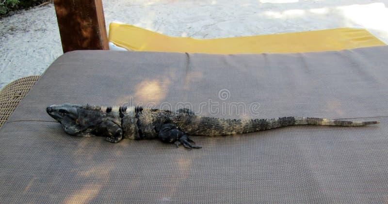 Iguana nera messicana che gode di un letto della spiaggia Maya Messico di Riviera fotografia stock libera da diritti