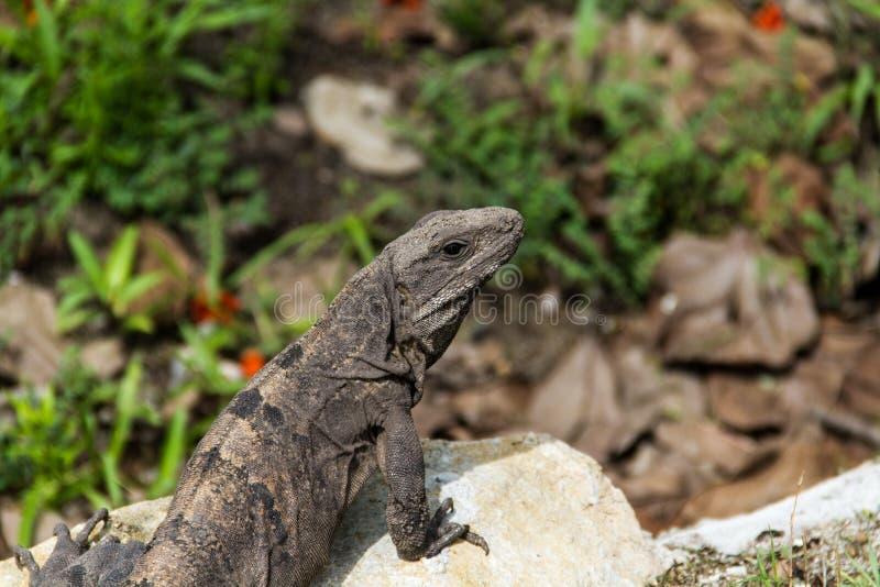 Iguana no EL Rey fotos de stock