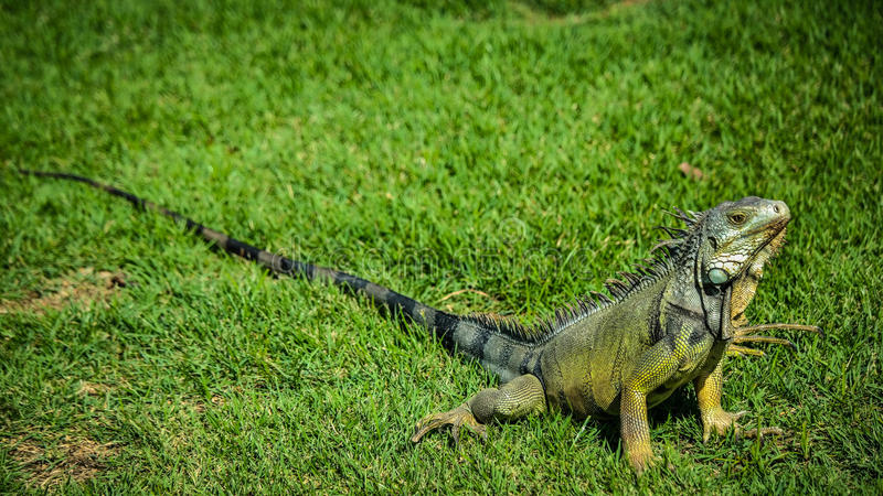 Iguana no gramado imagens de stock