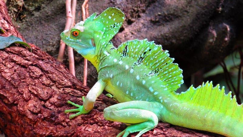 Iguana no jardim zoológico de Francoforte imagens de stock