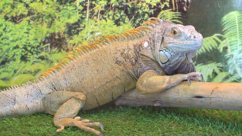 Iguana no jardim zoológico do contato fotografia de stock