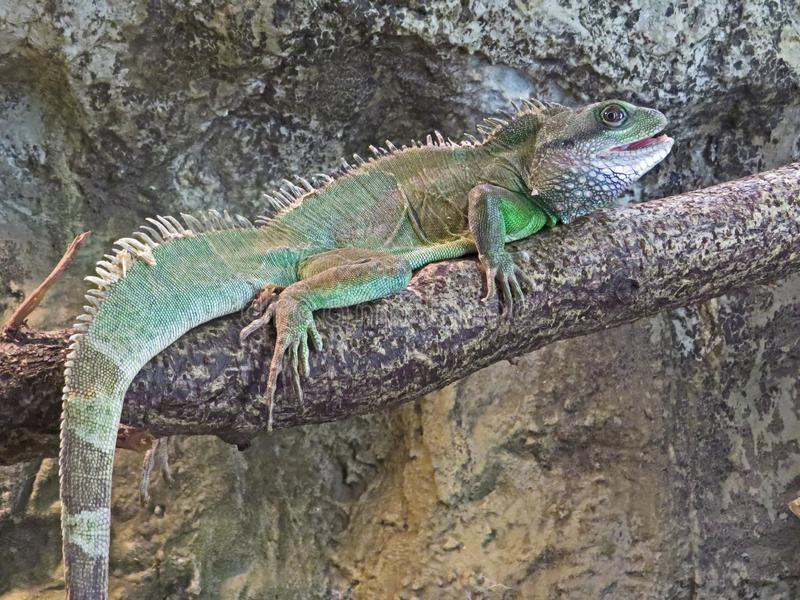 Iguana no jardim zoológico, olhando fixamente o espectador foto de stock royalty free