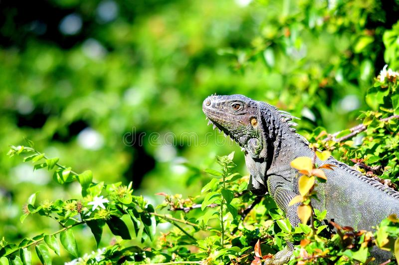 Iguana no parque, Florida sul foto de stock royalty free