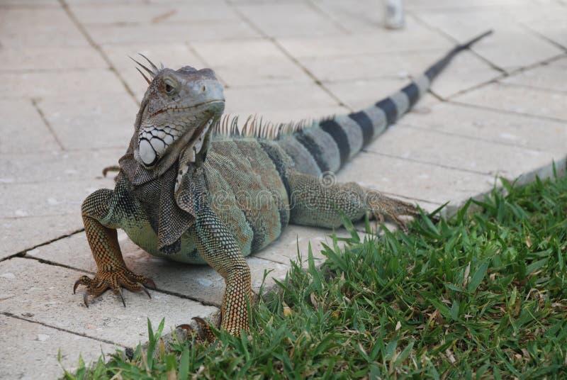 Iguana no passeio fotos de stock