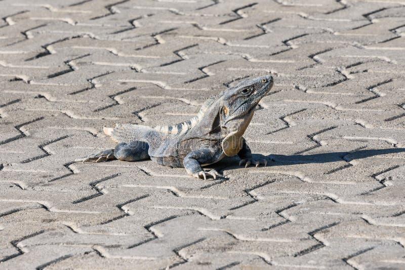 Iguana no selvagem Enegreça a iguana espinhoso-atada, a iguana preta, ou o ctenosaur preto Similis de Ctenosaura Maya de Riviera, fotografia de stock royalty free