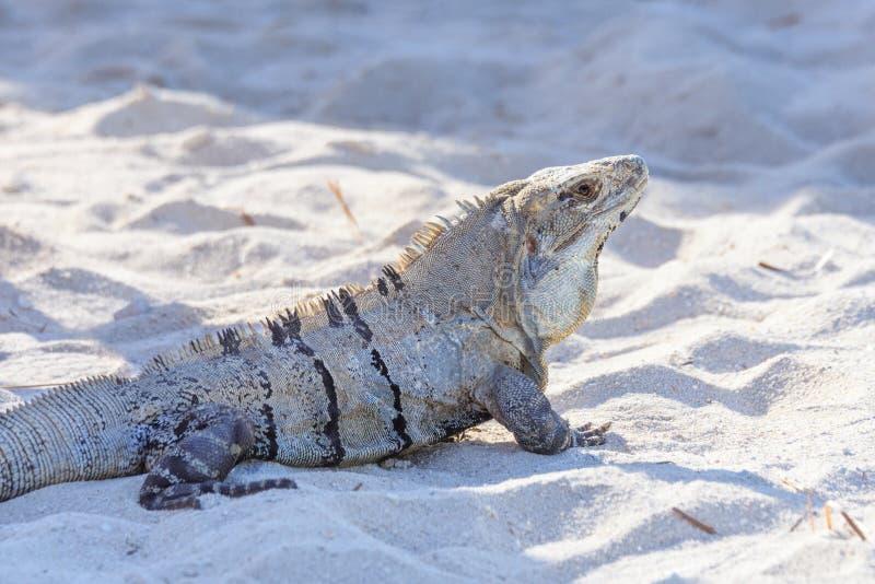 Iguana no selvagem Maya de Riviera, Cancun, México Enegreça a iguana espinhoso-atada, a iguana preta, ou o ctenosaur preto Simili imagens de stock