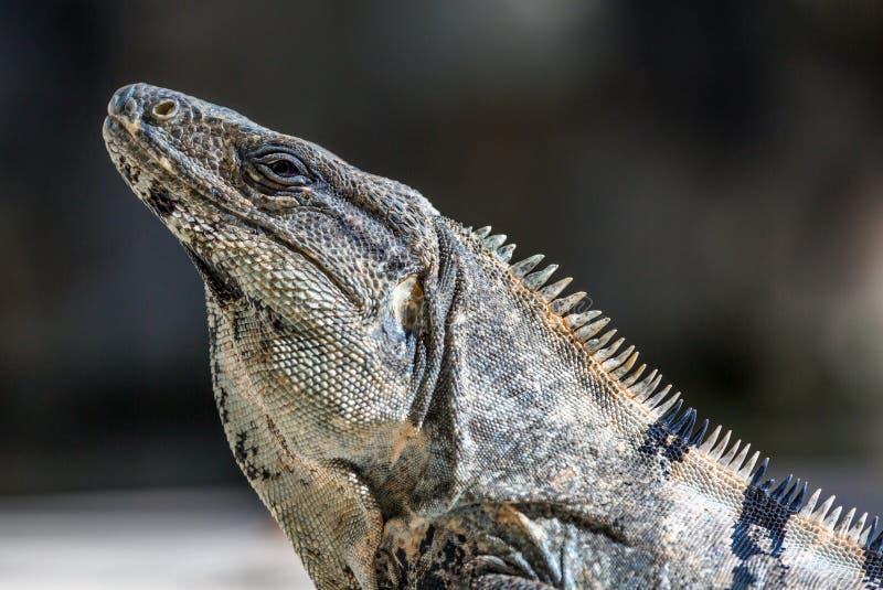 Iguana nos animais selvagens Cancun, México foto de stock