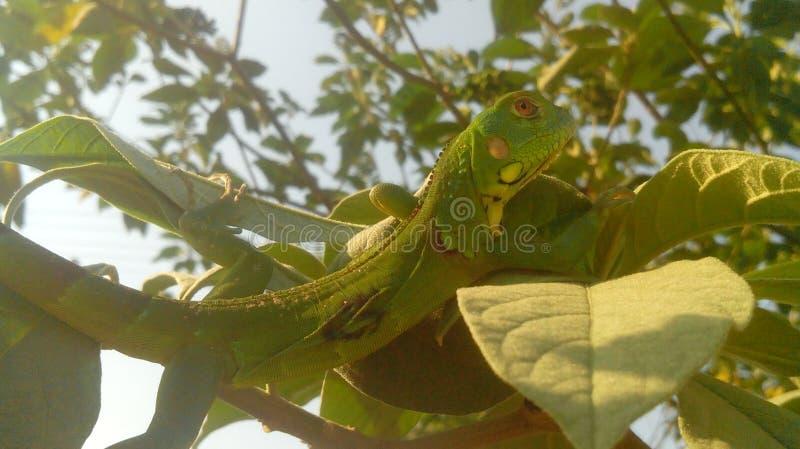 Iguana nova fotos de stock