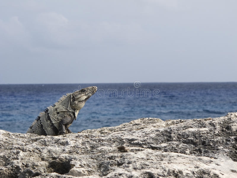 Download Iguana by the ocean stock photo. Image of mexican, xcaret - 14542196