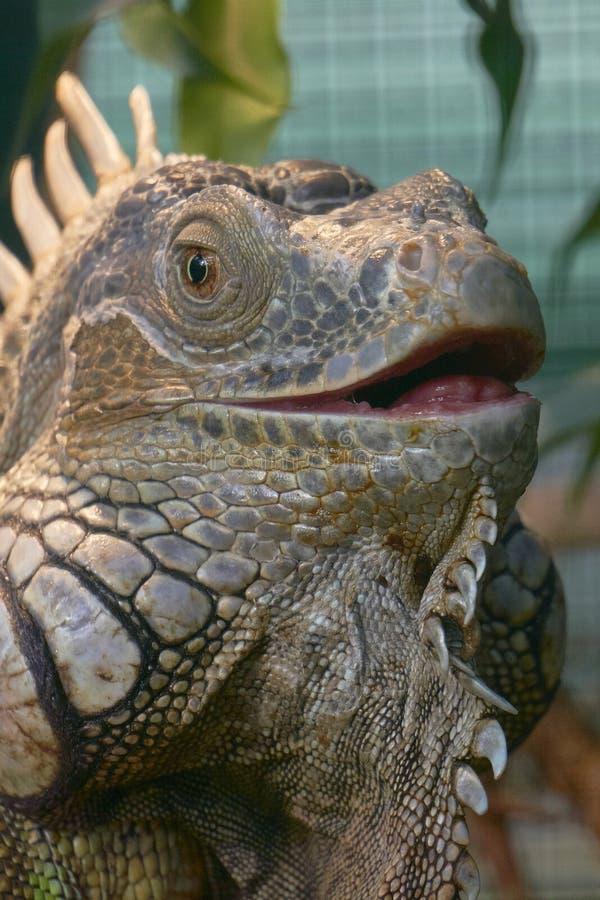Iguana open mouth stock photos