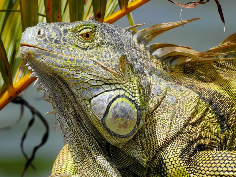 A iguana orgulhosa que descansa sob uma palma foto de stock