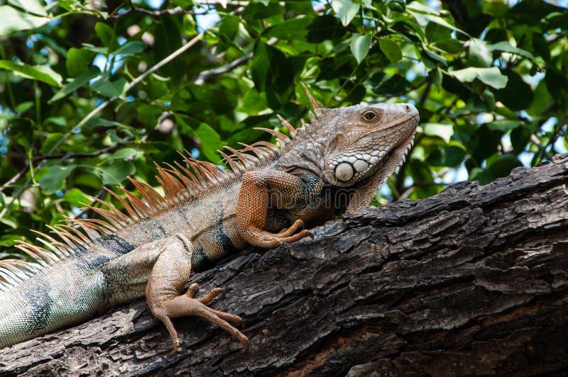 Iguana. An iguana in Parque del Centenario in Cartagena, Colombia stock image