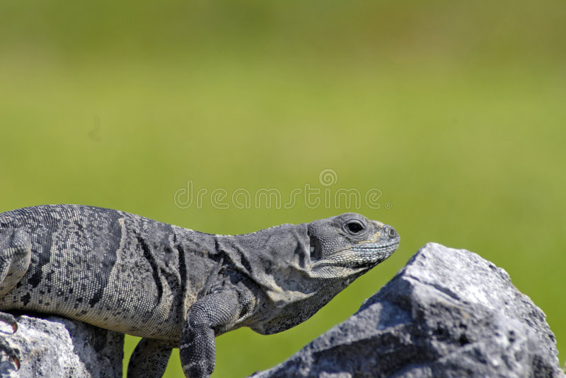 Iguana Perfect Match with Rock stock images