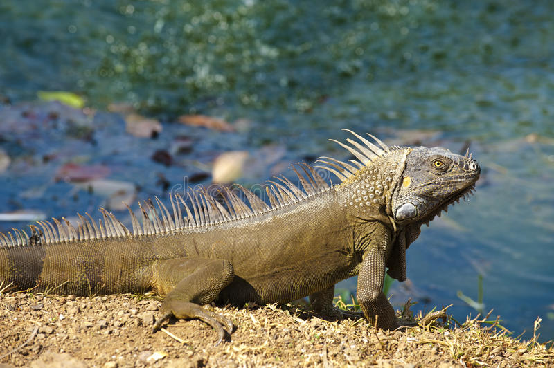 Iguana at a pond. Male green iguana basking in the sun by a pond in the Guanacaste province of Costa Rica royalty free stock image