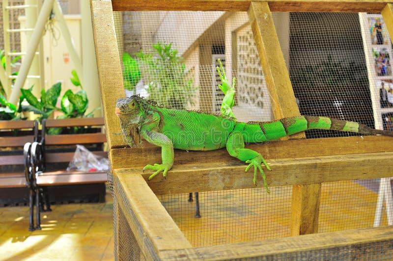 Download Iguana portrait stock photo. Image of life, feet, captivity - 19590674