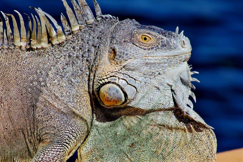Iguana Portrait Free Public Domain Cc0 Image